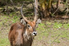 Waterbuck in Africa wild nature. Waterbuck Kobus ellipsiprymnus wild antelope deer with horn in Africa savannah nature. Safari game wild nature national parks of Stock Photography