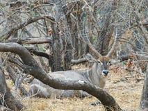 waterbuck africain d'antilope images stock