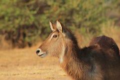 Waterbuck - African Antelope, Alert Stock Photo