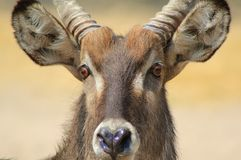 Waterbuck, African Antelope - Bull Blaze Royalty Free Stock Photo