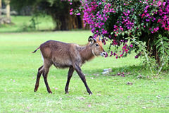 Waterbuck in the African savannah Royalty Free Stock Photo