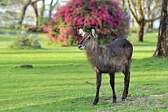 Waterbuck in the African savannah Stock Image