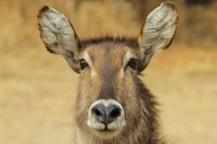 Waterbuck - African Wildlife Background - Stare of Focus Royalty Free Stock Photography