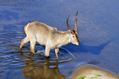 Waterbuck in Afrika Royalty-vrije Stock Foto's