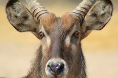 Waterbuck afrikansk antilop - tjureldsvåda Royaltyfri Foto