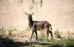 Waterbuck Afryka zwierzę Obrazy Royalty Free