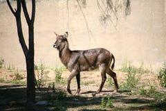 Waterbuck Afryka zwierzę Obrazy Stock