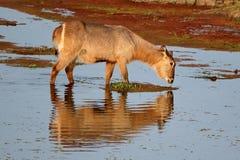 Waterbuck alimentant dans l'eau Images libres de droits