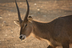 Waterbuck antelope Royalty Free Stock Image