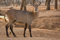 Waterbuck antelope  Stock Photography