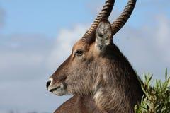 Waterbuck Antelope stock photography