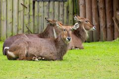 Waterbuck Antelope Royalty Free Stock Photos
