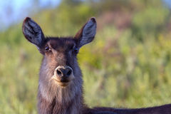 Waterbuck antelope Royalty Free Stock Photography