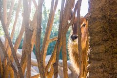 Waterbuck antelope, Kobus ellipsiprymnus, behind a wood fence in a zoo stock image