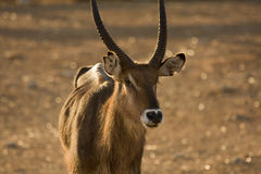 Waterbuck antelope male portrait. Kobus ellipsiprymnus Stock Photography