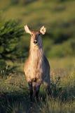 Waterbuck antelope in natural habitat Royalty Free Stock Photos