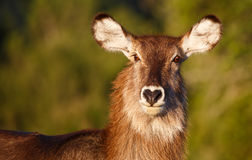 Waterbuck  Antelope Portrait Stock Images