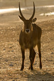 Waterbuck antelope  on sunset Royalty Free Stock Image