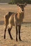 Waterbuck antelope  on sunset Stock Images