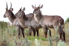 Waterbuck Antelope Trio stock images