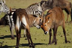 Waterbuck antelopes fighting, Kenya Royalty Free Stock Photos