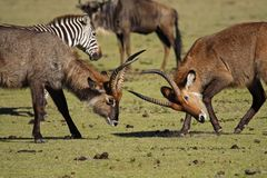 Waterbuck antelopes fighting, Kenya Stock Photo