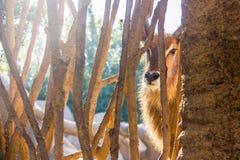 Waterbuck antilop, Kobusellipsiprymnus, bak ett trästaket i en zoo fotografering för bildbyråer