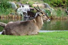 Waterbuck Antilope Lizenzfreies Stockbild