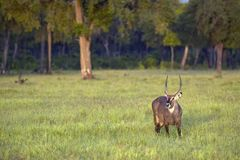Waterbuck with antlers looking into camera in Masai Mara in Kenya, Africa Stock Photography