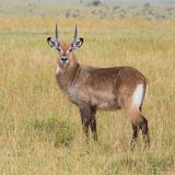 Waterbuck auf Mara Grasslands Stockfotos