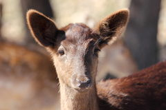 Waterbuck Baby Stock Photos
