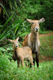 Waterbuck with baby Royalty Free Stock Photos