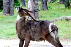 Waterbuck Backscratch. A waterbuck bull uses his horns to scratch a tough spot Royalty Free Stock Image