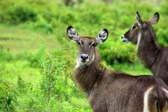 Waterbuck beauty, Tanzania. Waterbuck in arusha national park. Waterbuck is a large antelope found widely in sub-Saharan Africa Royalty Free Stock Images