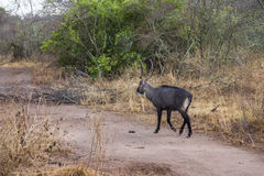 Waterbuck. Royalty Free Stock Photo
