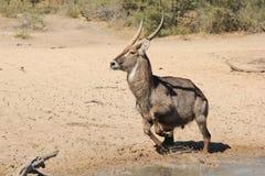 Waterbuck Bull που δραπετεύει τον κίνδυνο - αφρικανική άγρια φύση Στοκ Εικόνες