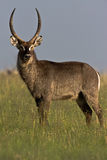 Waterbuck Bull. Standing in short savanna grass in Rietvlei nature reserve Stock Images