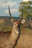 Waterbuck Bull Lizenzfreie Stockfotos