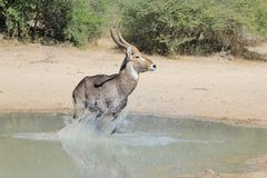 Waterbuck Bull Action - Wildlife from Africa - Blur of Escape Stock Images