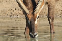 Waterbuck Bull - Drinking Golden Water - Wildlife from Africa Royalty Free Stock Images