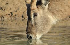 Waterbuck Bull - Drinking water of Gold, from Africa Stock Photos