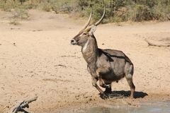 Waterbuck Bull Escaping Danger - African Wildlife Stock Images