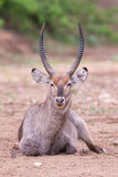 Waterbuck bull with huge horns resting on ground of a dry river Royalty Free Stock Images