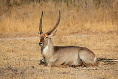 Waterbuck bull Royalty Free Stock Images