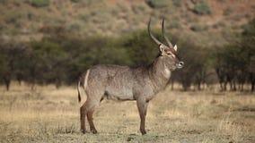 Waterbuck bull Stock Image