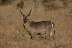 Waterbuck Bull Royalty Free Stock Photo