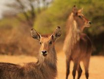 Waterbuck Bull - Little Devil look-alike 2 Royalty Free Stock Photo