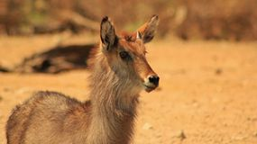 Waterbuck Bull - Little Devil look-alike Stock Image