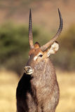 Waterbuck bull Royalty Free Stock Photos