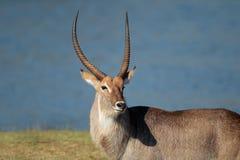 Waterbuck bull Stock Photography
